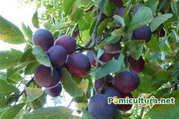 thumb_350_muu4e_pomi-fructiferi-pepiniera-aiud-pomicultura-fructe-4.jpg